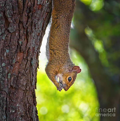 Hanging Squirrel Poster by Stephanie Hayes