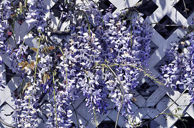Hanging Wisteria On Lattice Poster