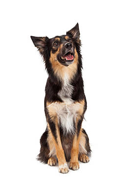 Happy Border Collie Crossbreed Looking Up Poster