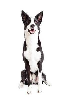 Happy Border Collie Mix Breed Dog Sitting Poster by Susan Schmitz