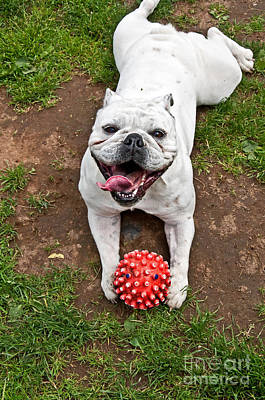 Happy Bulldog Lying On Stomach With Red Ball Art Prints Poster by Valerie Garner
