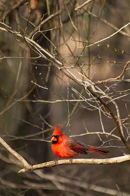 Happy Cardinal Poster by Nathaniel Kidd