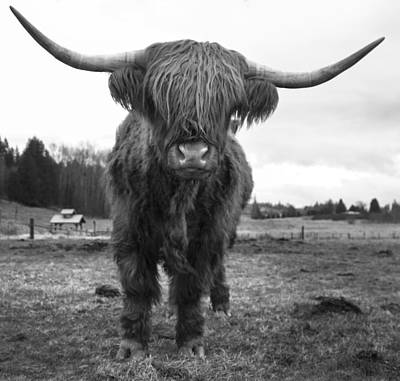 Happy Highland Cow Poster by Sonya Lang