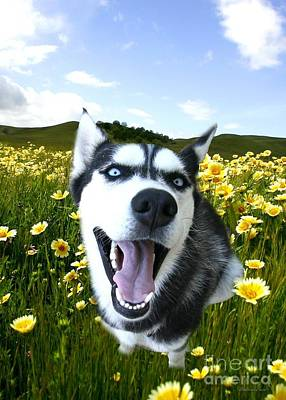 Happy Husky Poster