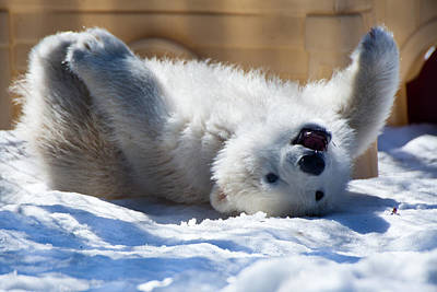 Happy Polar Bear Cub Poster by Dora Miller