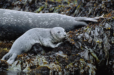 Harbor Seal Pup Resting Poster