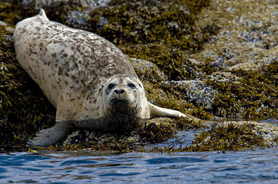 Harbor Seal Rests On The Rocky Shore Of Poster