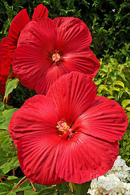 Hardy Hibiscus Poster by Sue Smith