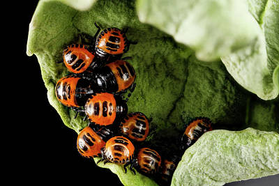 Harlequin Cabbage Bug Nymphs Poster