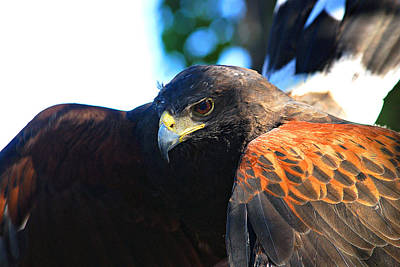 Harris Hawk - Close Up Poster