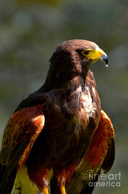 Harris Hawk In Thought Poster
