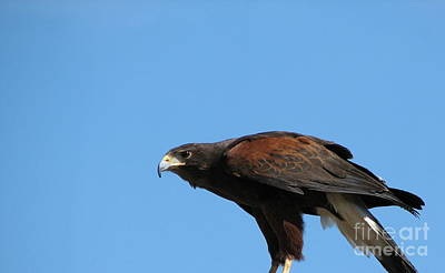 Harris Hawk Ready For Takeoff Poster by Rose Santuci-Sofranko