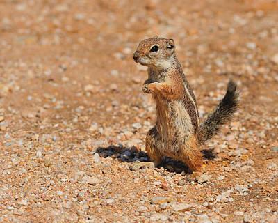 Harris's Antelope Squirrel Poster