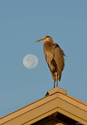 Harry The Heron Ponders A Trip To The Full Moon Poster by Jeff at JSJ Photography