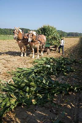 Harvest On An Amish Farm Poster