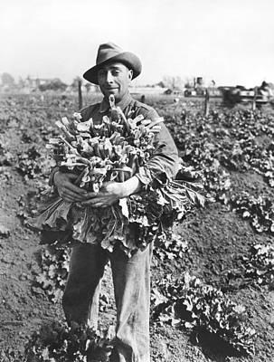 Harvesting Rhubarb In Alameda Poster