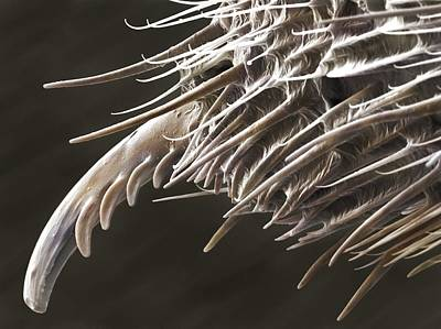 Harvestman Palp Terminal (sem) Poster by Science Photo Library