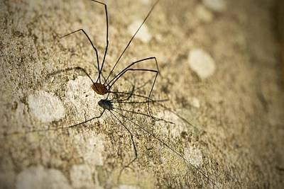 Poster featuring the photograph Harvestman Spider by Chevy Fleet