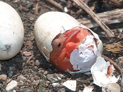 Hatching Pelican Poster
