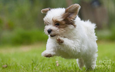 Havana Bichon Puppy  Poster
