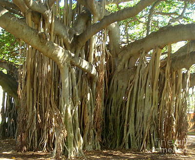 Hawaii Banyan Tree Poster
