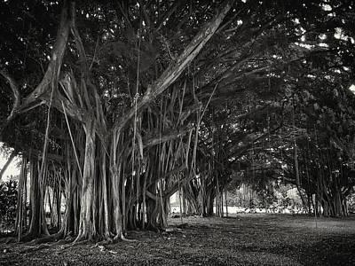 Hawaiian Banyan Tree Root Study Poster by Daniel Hagerman