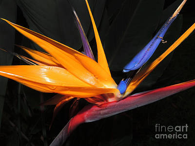 Hawaiian Bird Of Paradise Poster by Kristine Merc