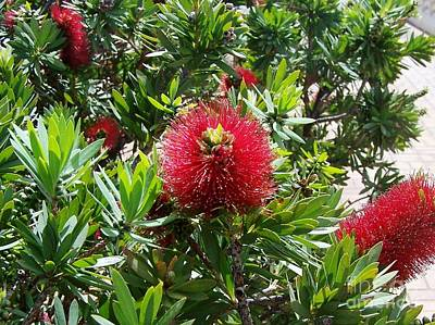 Poster featuring the photograph Hawaiian Bottle Brush Flower by Brigitte Emme