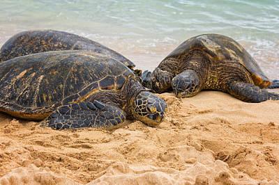 Hawaiian Green Sea Turtles 1 - Oahu Hawaii Poster by Brian Harig