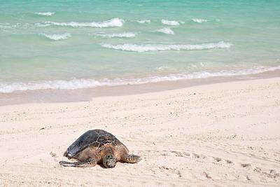 Hawaiian Green Turtle / Chelonia Mydas Poster