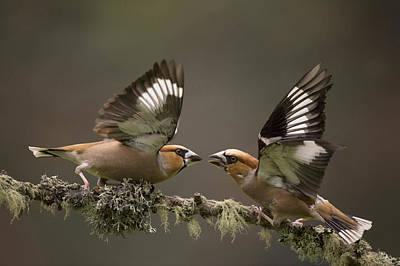 Hawfinch Males Fighting Gelderland Poster