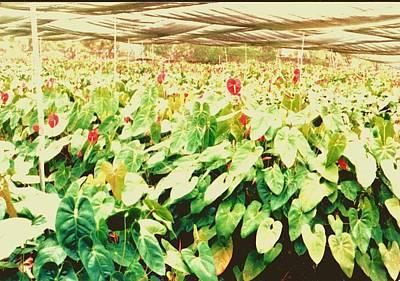 Hawii Flowers In Nursery Poster by Joan Shortridge