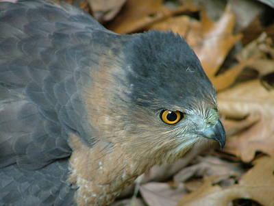 Hawk Eyes Up Close Poster