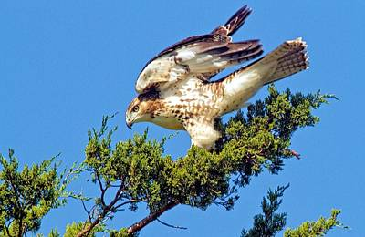 Juvenile Red-tailed Hawk In A Cedar Tree Poster by Constantine Gregory