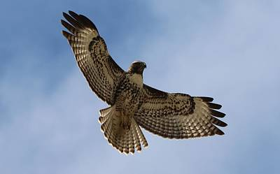 Poster featuring the photograph Hawk In Flight  by Christy Pooschke