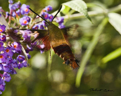 Poster featuring the photograph Hawk Moth I by Robert Culver