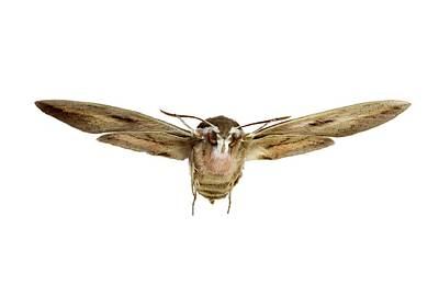 Hawk Moth In Flight Poster