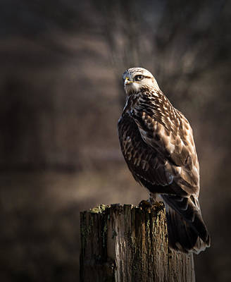 Hawk On A Post Poster by Randy Hall
