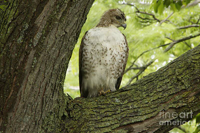 Hawk Stares Poster