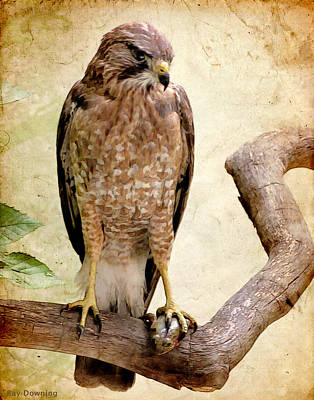 Hawk With Fish Poster by Ray Downing