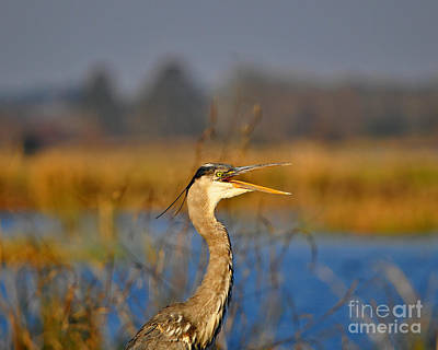 Hawking Heron Poster by Al Powell Photography USA