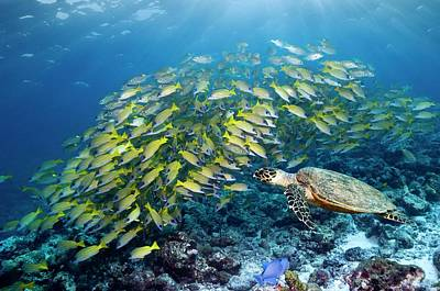 Hawksbill Turtle And Blueline Snappers Poster