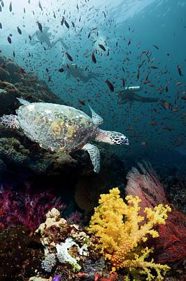 Hawksbill Turtle On Coral Reef Poster
