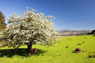 Hawthorn Tree In Blossom Poster by Ashley Cooper