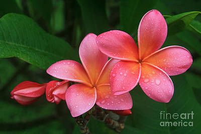 He Pua Laha Ole Hau Oli Hau Oli Oli Pua Melia Hae Maui Hawaii Tropical Plumeria Poster by Sharon Mau