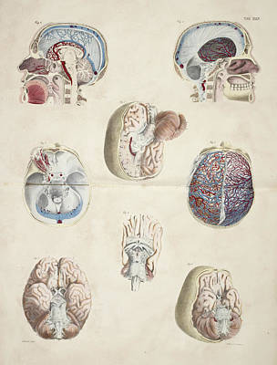Head And Skull Anatomy Poster by British Library