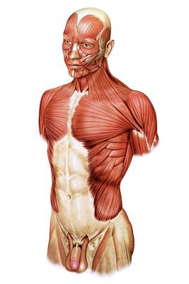 Head And Trunk Muscular Groups Poster