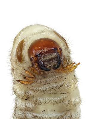 Head Of A Beetle Larva Poster by F. Martinez Clavel