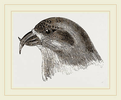Head Of Crossbill Poster