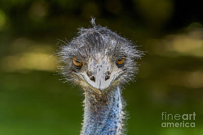 Head Of Ostrich Poster by Patricia Hofmeester